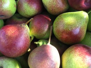 Seckel Pear Picking