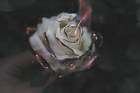 Rose alight.jpg