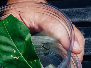 Combattre l'agrile du frêne par son microbiome intestinal
