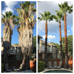 Palm tree Trimming Job