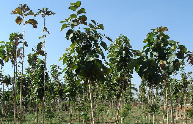teak-plantation-289157_1920.jpg