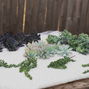Succulents- $20 for all QTY over 30 individual pieces