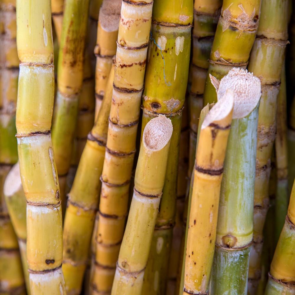 Stalks of sugar cane plant.