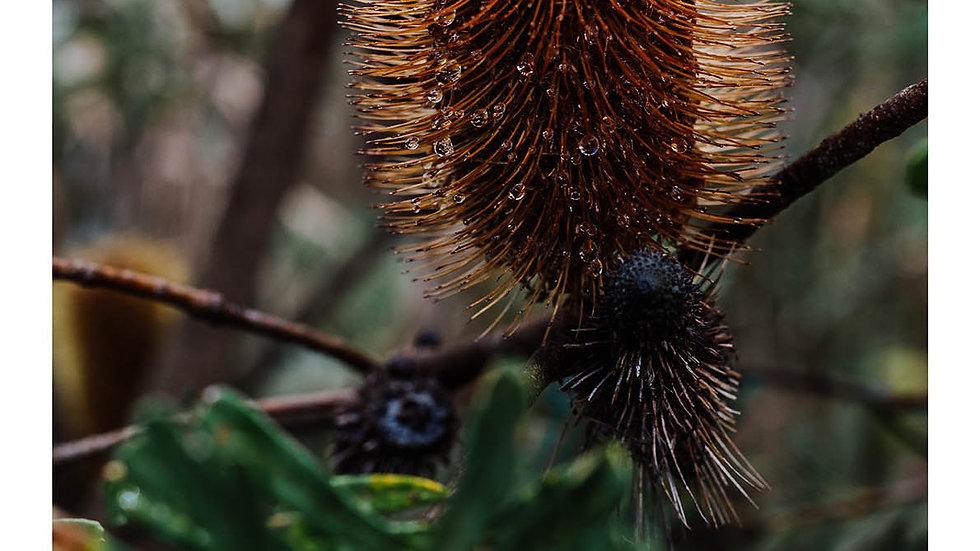 Fleurieu Banksia #3