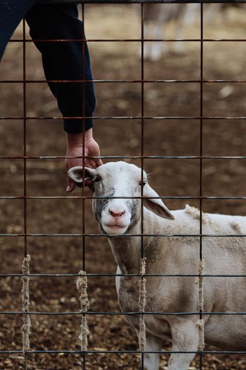 Y&P Sheep