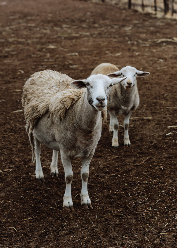 Y&P Sheep 2