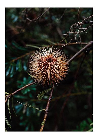 Fleurieu Banksia #2