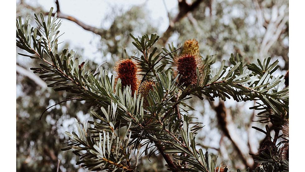 Fleurieu Banksia #1