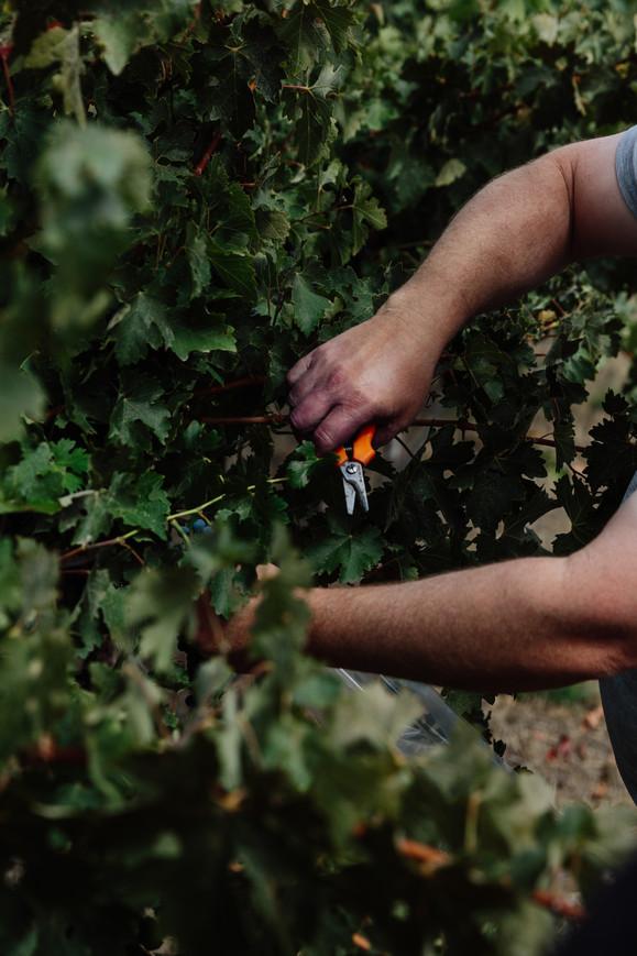 Michael sampling grapes