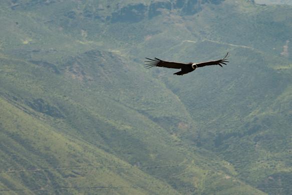 A Condor of Colca Canyon