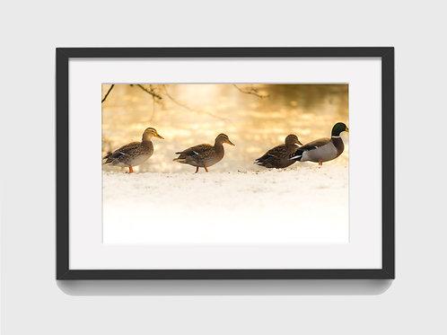 Ducks in sunlight