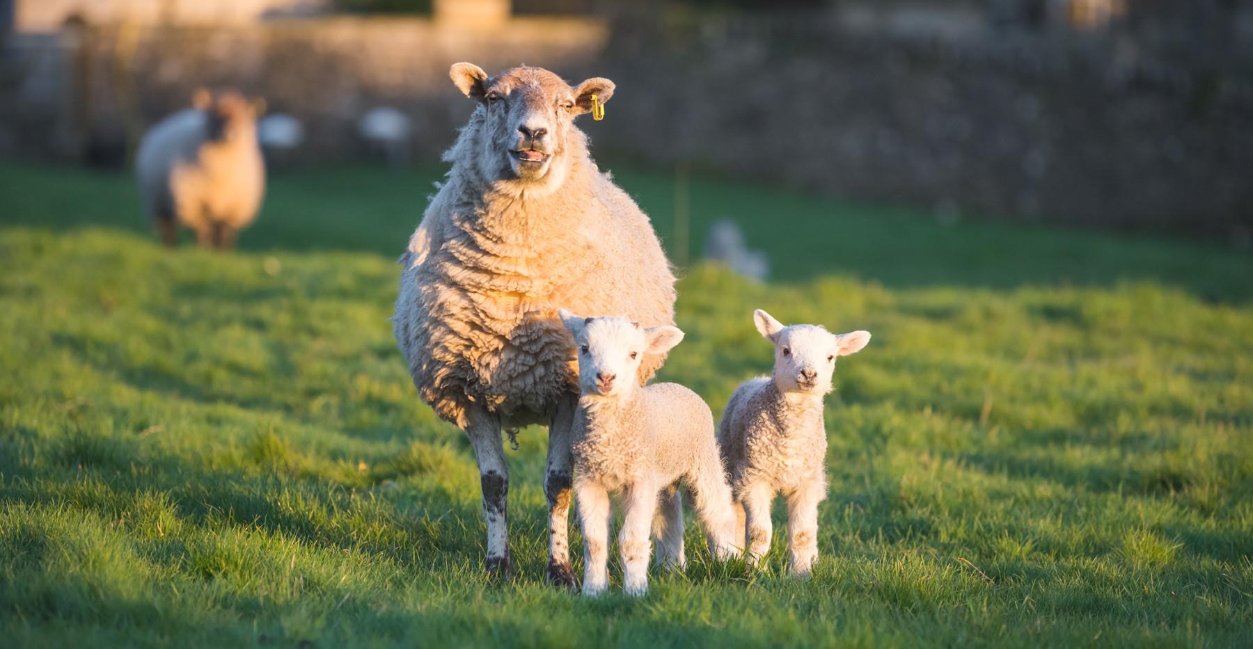 Rachel Rennie - Lambs (8).jpg
