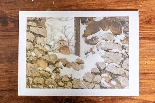 Snowy Barn Owl