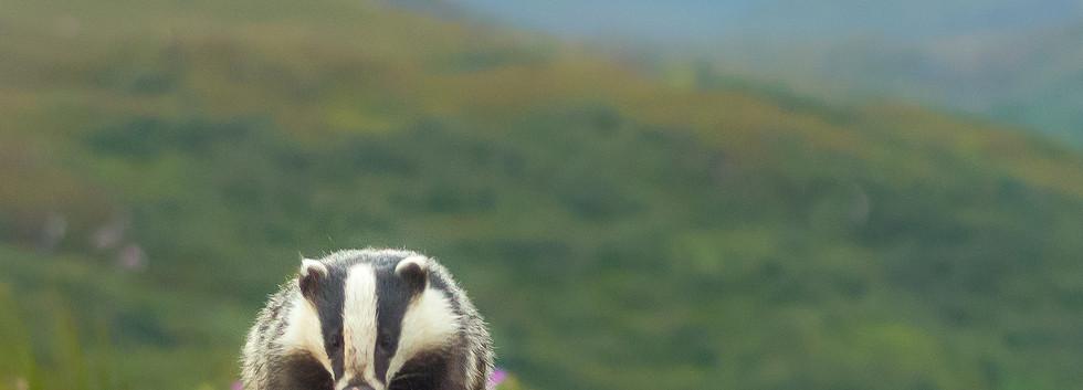 Scottish Badger