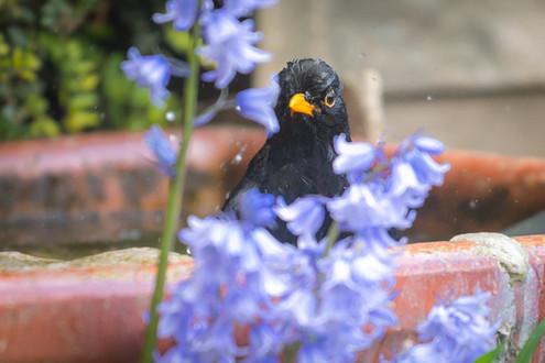 Bathing Blackbird