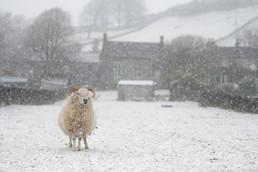 Snowy Lambs - Rachel Rennie (2).jpg