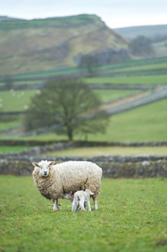 Rural Life - Peak District