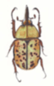 Beetle_Herculus.jpg