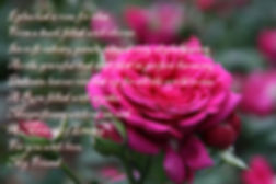 Roses, Poetry, Poems by Cody, literature, writing, soft, velvet, flowers, miracles, love