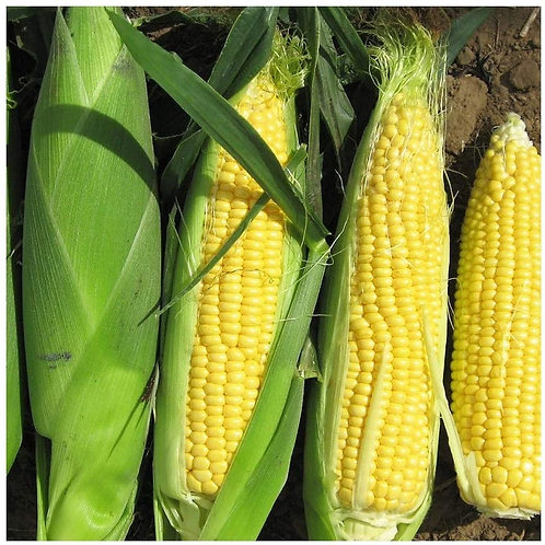 sweet corn/maize