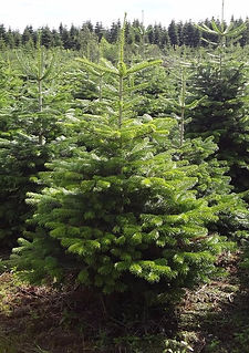 A Norway Spruce Christmas Tree for sale in Glasgow