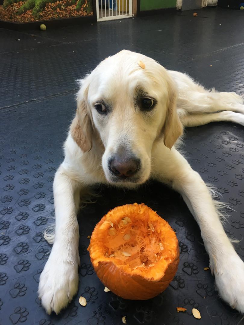 Pumpkin Scavenging