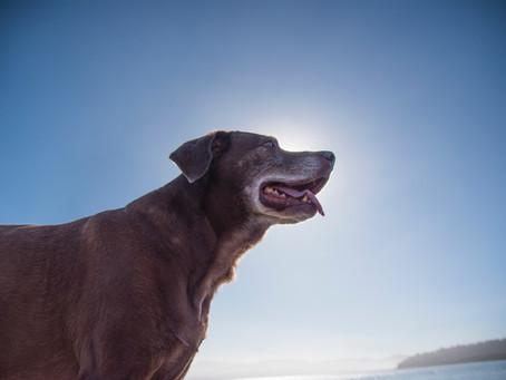 A Distinguished Older Gentleman | Tales of a Senior Dog Part 3
