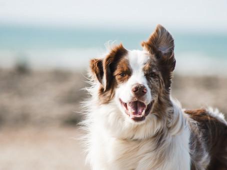 A Distinguished Older Gentleman | Tales of a Senior Dog Part 2