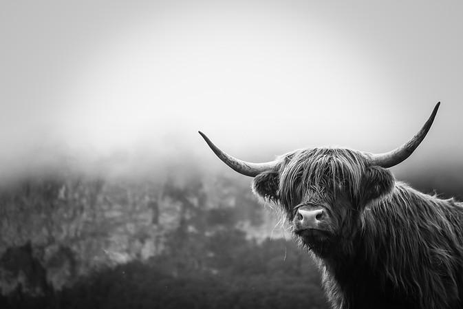 Scottish Highland Cow 35-2.jpg