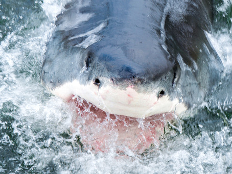 Up close and personal with the Apex Predator of the sea