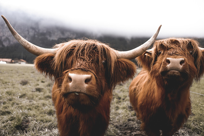 Scottish Highland Cow 43.jpg