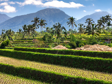 The art of growing rice in Bali