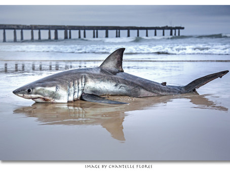 Illegal fishing of Great White Sharks – should this be allowed?