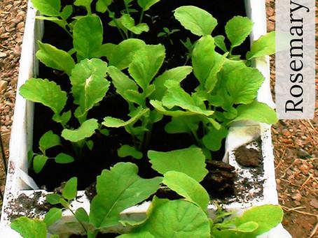 Growing High-Vitamin Salad Greens = Easy