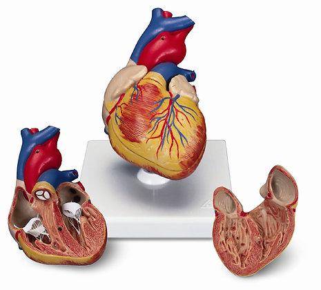 Anatomische Produkte