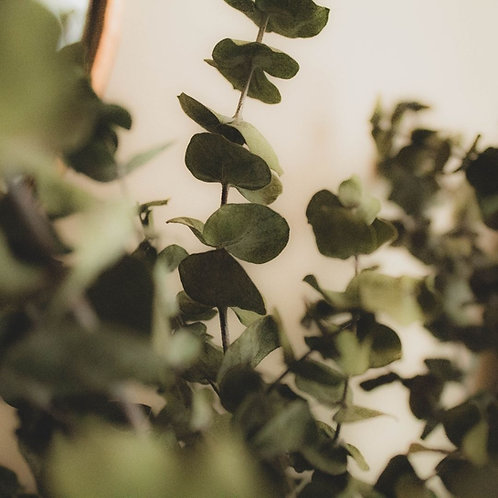 Etherische Olie - Eucalyptus