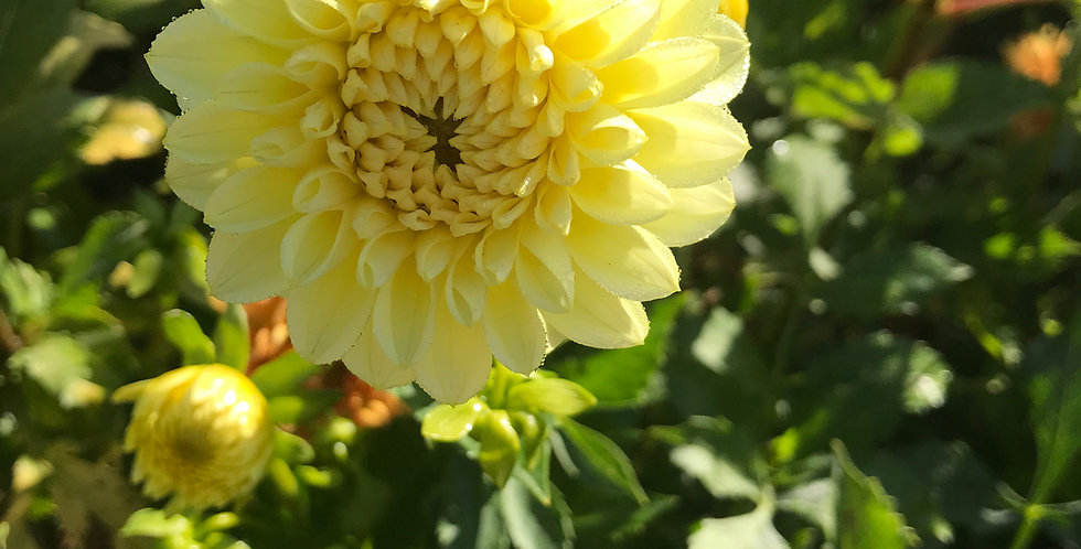 Dahlia Yellow Pompon