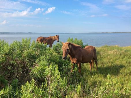 Za divokými koni na Assateague Island v USA