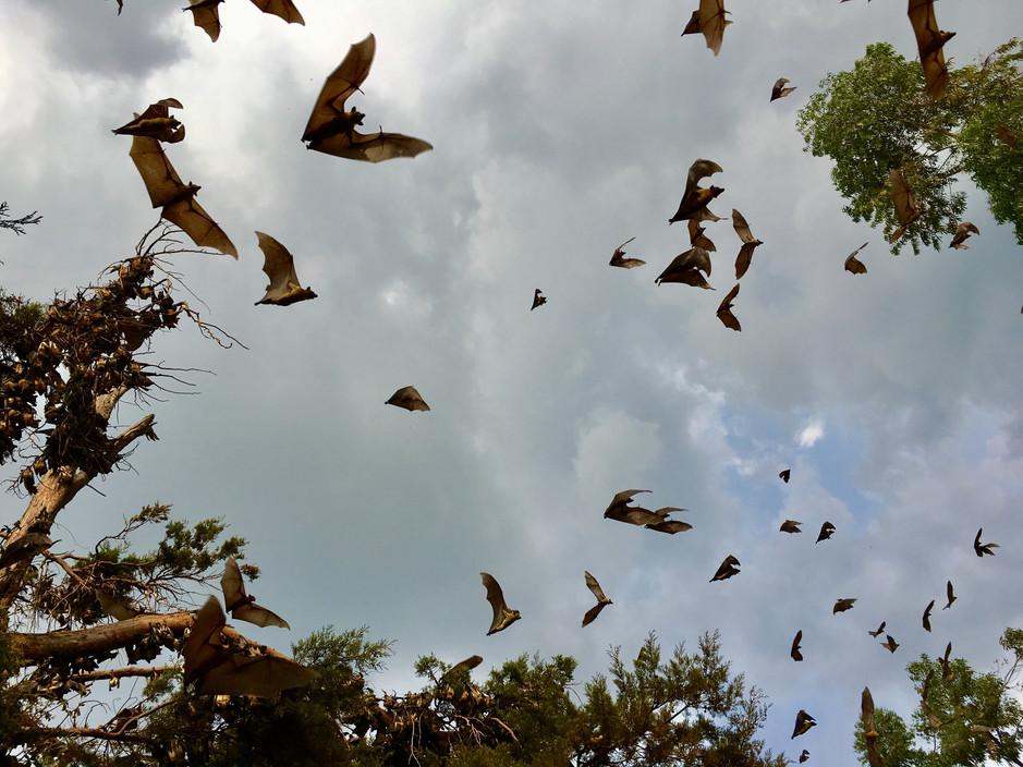 Thousands of bats