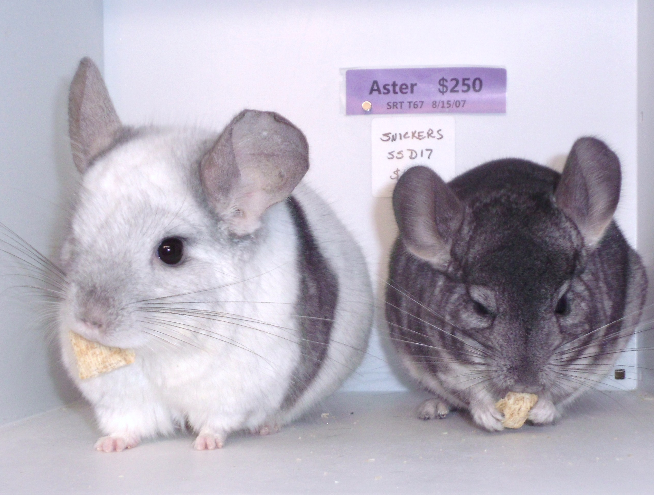 Aster & Snickers