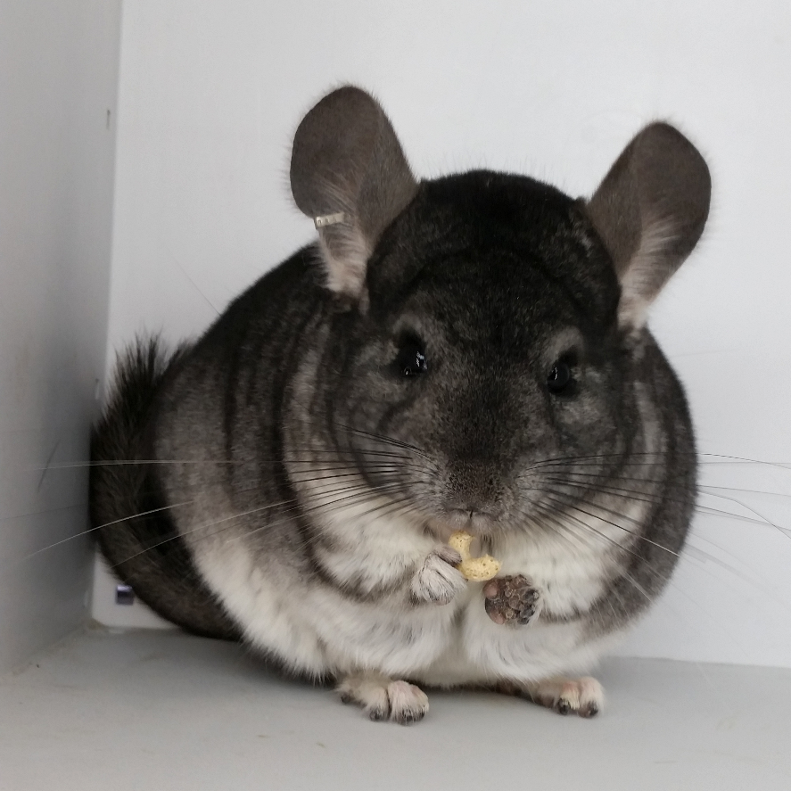 Gray chinchilla