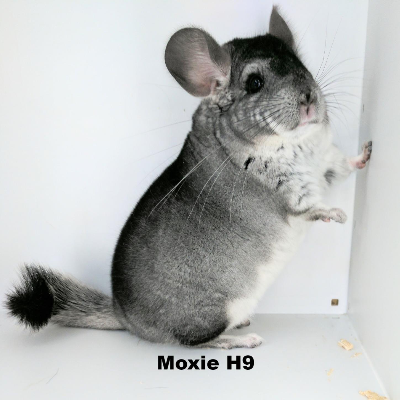 Moxie chinchilla
