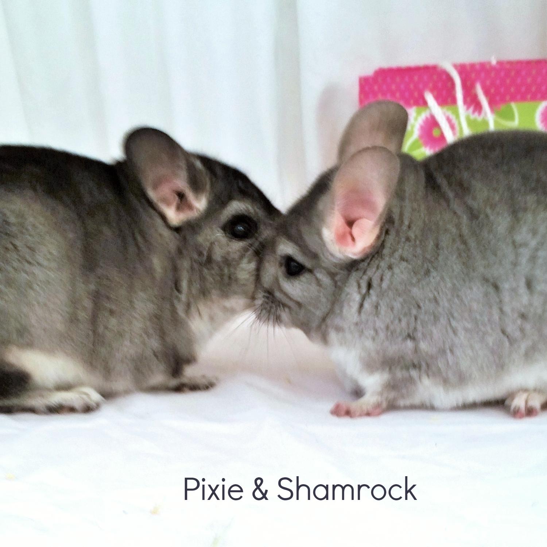Pixie & Shamrock