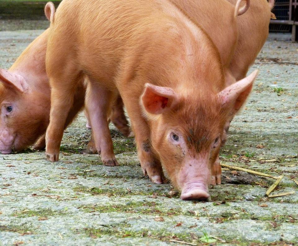Tamworth Pigs | Old Hall Rare Breeds