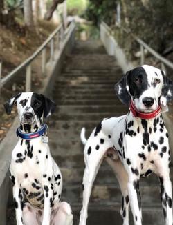 The Real Dalmatians