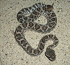 Southern-Pacific-Rattlesnake-1-1.jpg