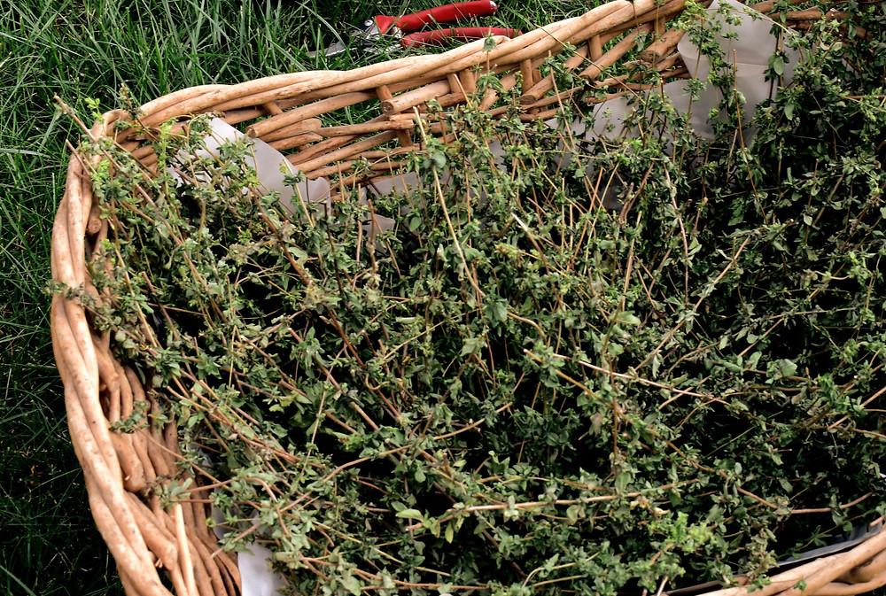 Zaatar, about thyme harvest, TheMixpot