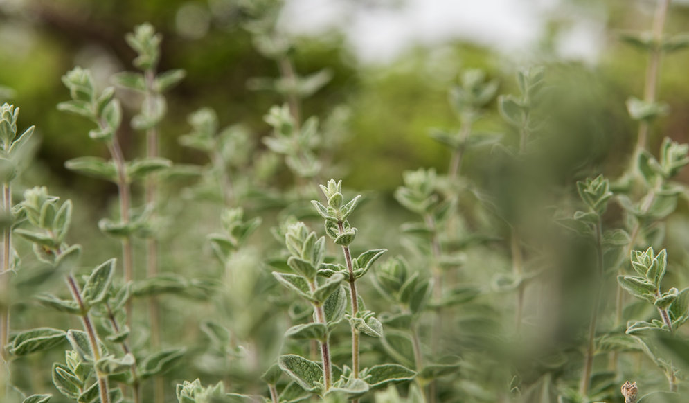 Field of thyme plant
