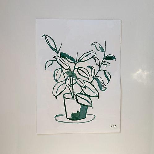 Ficus Rubber Plant