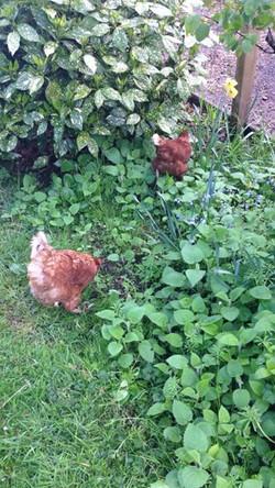 My chicken friends